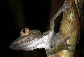Bladsvans gecko